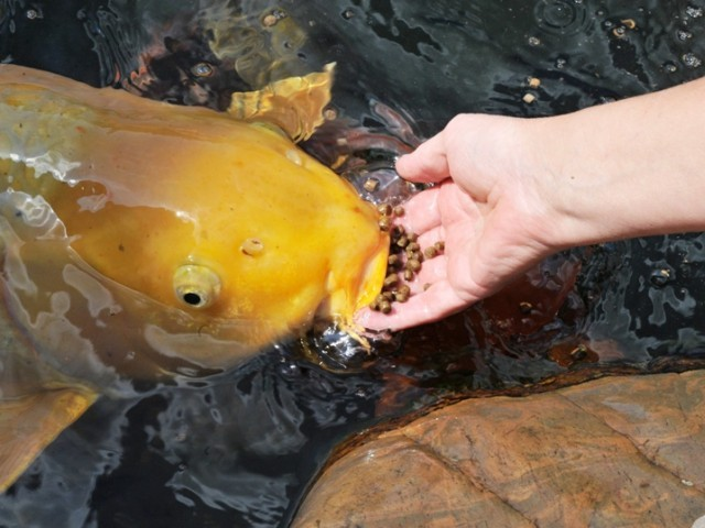 Judge napolitano spells out our illegal use of force for Koi feeding