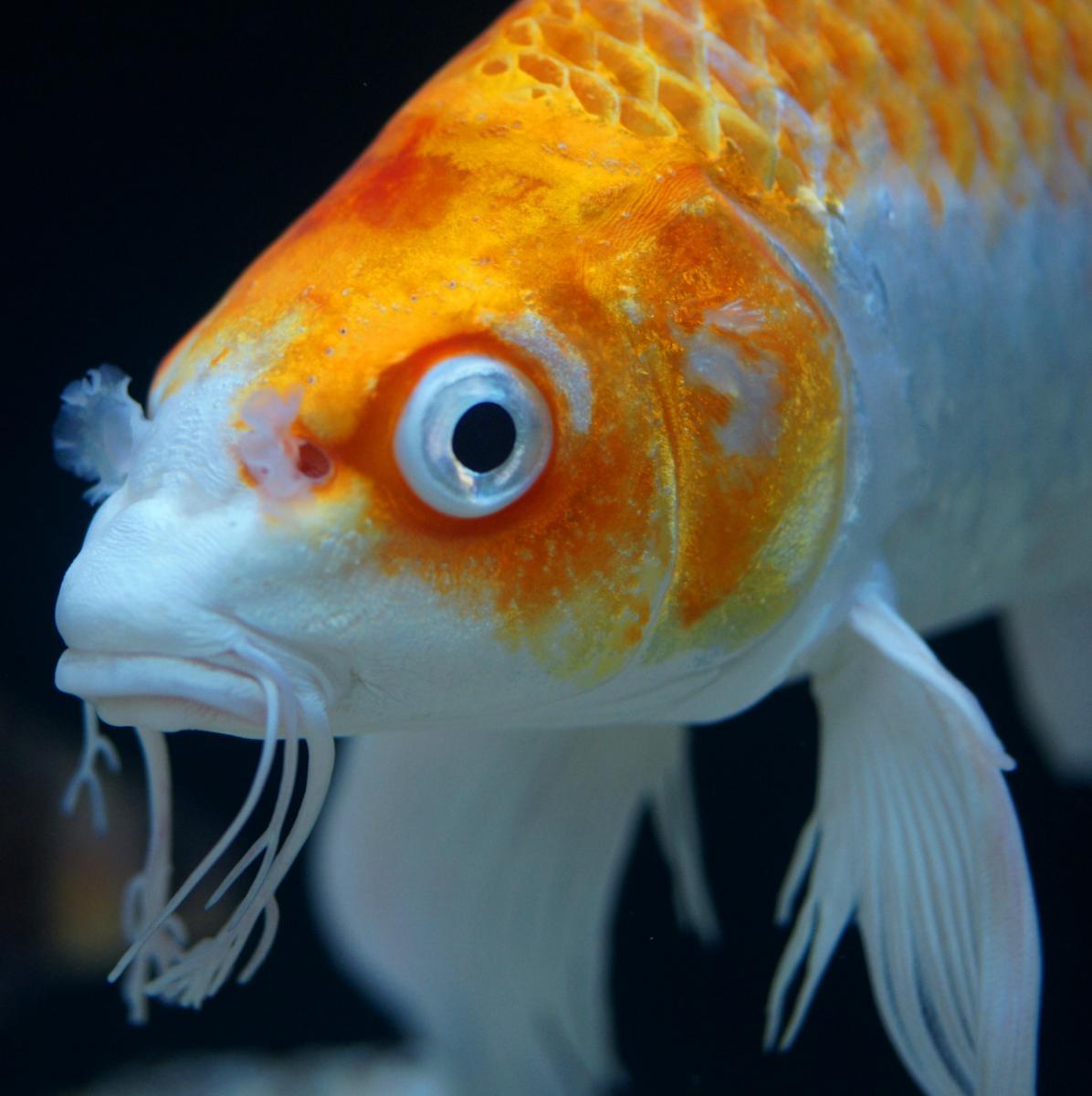 Fish Superpowers - Anatomy, Physiology, Evolution, Genetics, Koi ...