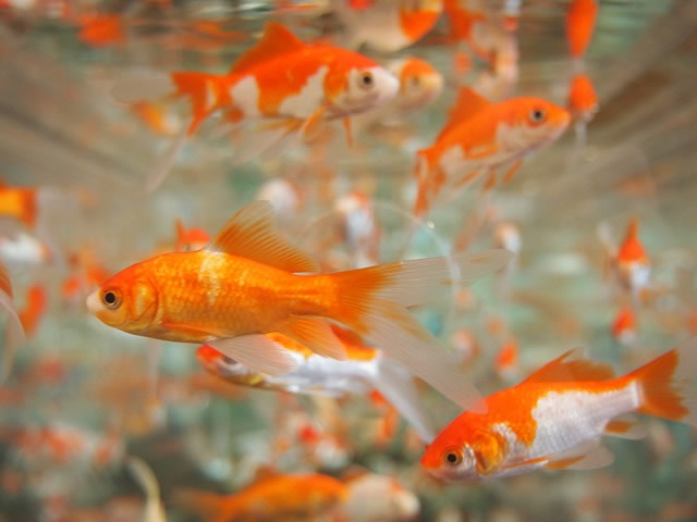 Do goldfish and koi eat each other k o i for Koi fish environment
