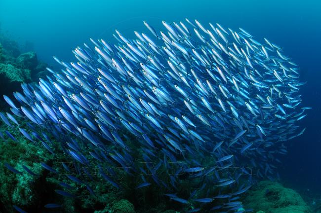 How schools of fish coordinate k o i for Big fish princeton