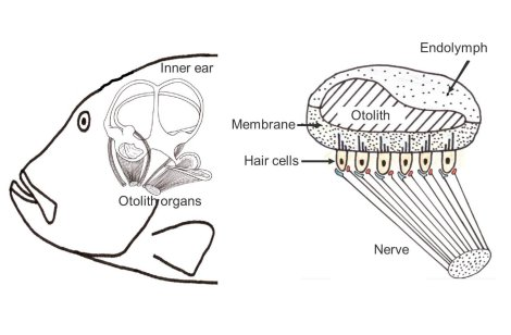 fish\u0027s ear diagram wiring diagram online Teeth Diagram how do fish sense water motion? k o i fish\u0027s ear diagram