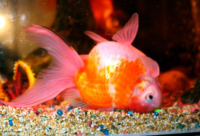 how to drain a swim bladder in fish