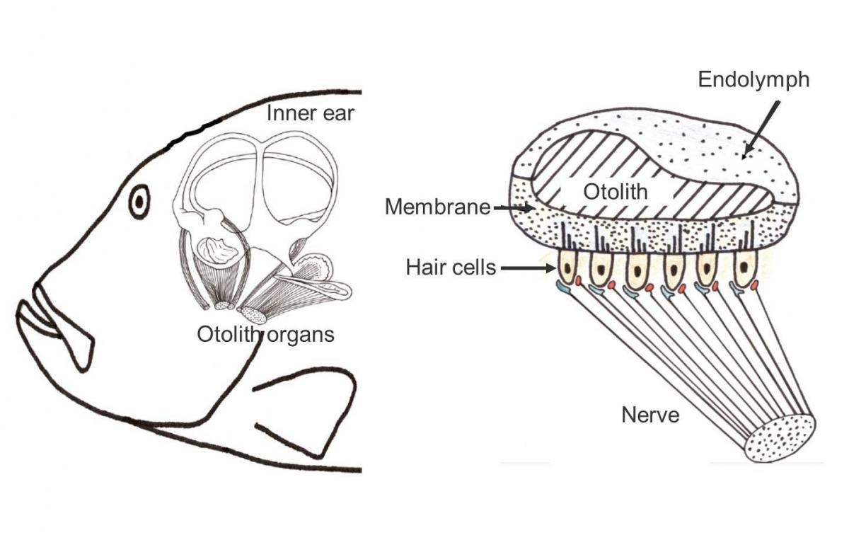 Studying fish ear bones   K.O.I.