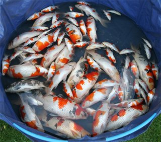 A paper on the release of khv in australia to reduce wild for Wild koi fish