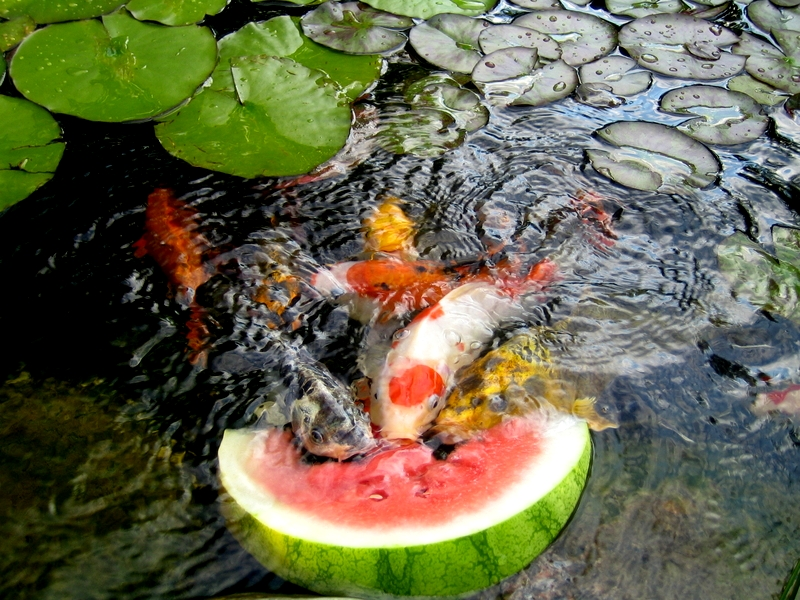koi pond lighting ideas. When A Koi Doubles In Length, How Much More Does It Weigh? Pond Lighting Ideas