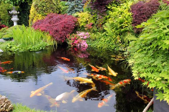 4 important pond keeping tasks k o i